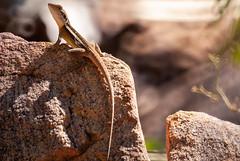 Ta Ta Lizard Again (fate atc) Tags: australia lophognathusgilberti northernterritory tatalizard hot lizard reptile rock