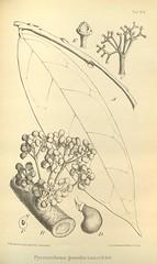 n642_w1150 (BioDivLibrary) Tags: botany melanesia papuanewguinea missouribotanicalgardenpeterhravenlibrary bhl:page=500571 dc:identifier=httpsbiodiversitylibraryorgpage500571 artist:name=gertrudbartusch