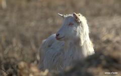 transumanza (miriamdovidio) Tags: gregge pecore transumanza mammiferi pastori bergamo agnello capre campagna