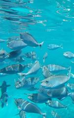 Naso brevirostris (kmlk2000) Tags: maldives vacation sea ocean sealife sun blue underwater fish poisson beach reef