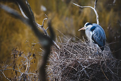 Guarding the nest (Soren Wolf) Tags: gray heron bird brds pose tree trees nikon d7200 300mm wings wood nest prague wild