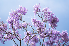 i was hoping i could get lost in paradise... (~ geisha ~) Tags: jacaranda flower flora tree australia australian native sydney purple summer