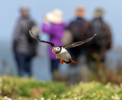 IT'S BEHIND YOU! (Steve (Hooky) Waddingham) Tags: stevenwaddinghamphotography animal planet coast sea bird british nature northumberland flight fishing farnes wild wildlife puffin