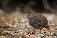 Natal Spurfowl (leendert3) Tags: leonmolenaar southafrica krugernationalpark wildlife nature birds natalspurfowl ngc npc
