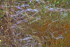 Grass in the Wind! (maginoz1) Tags: abstract art flowers grass wind web summer december 2018 bulla melbourne victoria australia canon g3x