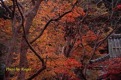 34 拷貝 (EH500) Tags: 日本 大原 寂光院 japan 京都 楓葉 angenieux film rvp100 nikon fm2 桜 櫻花 底片 膠卷 135 cherry blossom nikoncoolscan nikoncoolscanls9000ed coolscan9000ed ならこうえん 愛展能 安琴 銀鹽 slr fuji 富士 rvp color fujichrome velvia fujichromevelvia slide 正片