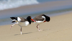 American Oystercatchers (Haematopus palliatus) (Kremlken) Tags: oystercatcher beach shorebirds puertorican winter bird birds birding birdwatching nikon500