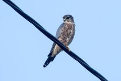Male Merlin at Tind (grebberg) Tags: tind bird moskenes nordland norway september 2018 merlin falcocolumbarius falco falcon raptor birdofprey
