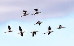 Flight of Avocets (tresed47) Tags: 2018 201812dec 20181204bombayhookbirds avocet birds bombayhook canon7dmkii content delaware fall folder peterscamera petersphotos places season shorebirds takenby us