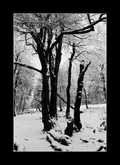 Am Feldberg im Taunus (nordelch61) Tags: deutschland hessen taunus mittelgebirge heimat feldberg bäume wald schnee ast zweig zweige wind äste forest tree winter snow