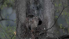 Great Horned Owlets (snooker2009) Tags: raptor bird nature wildlife owl baby babies small young nest