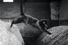 jump (Jen MacNeill) Tags: black cat pet kitten animal farm barn cats bnw bw white