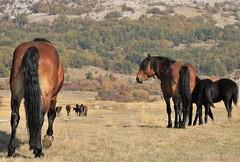 Amirosso Grosso (Amir Guso) Tags: gallopinghorses galoppierendepferde galpokonja horse pferde reiten wildpferde wild horses dzikie konie лошади коні 野生の馬 chevaux jesen herbst trava novembar divljina zdrijebe hengst stute wildnis wilderness désert пустыня fohlen жеребенок poulain foal stallion étalon pâturage pašnjak pasture weide nevada texsas pferdereiten ridehorses ridingwildhorses wildepferdereiten galop herd herde