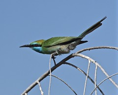 Time for a bee (Grumpys Gallery) Tags: greenbeeeater birds wildlife nature dubai uae