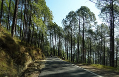 Pines of Berinag (draskd) Tags: pinetree deodar forest berinag munsiyari roadtomunsiyari routetomountains road lonely kumaontravel uttarakhand kanda tree motorcyclerider