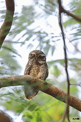 Spotted owlet (harshithjv) Tags: bird birding owl owlet spottedowlet athene brama aves avian strigiformes strigidae canon 80d tamron bigron g2 nocrop
