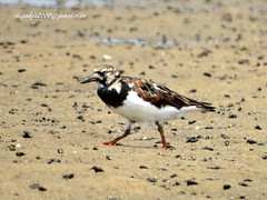 DSC04004 Ruddy Turnstone (Arenaria interpres) (vlupadya) Tags: gtratnature aves fauna indianbirds ruddy turnstone arenaria kundapura karnataka