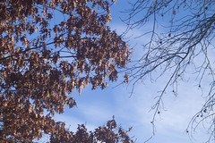 Winter Oaks (Modkuse) Tags: nature natural sky morning oak oaktree oakleaves skyscape bluesky nikon nikondslr nikond100 art artphotography photoart fineartphotography fineart nikon105mmf28macronikkor