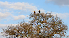 Two tawny eagles in the evening sun (claudia@flickr) Tags: africa krugernationalpark southafrica tawnyeagle
