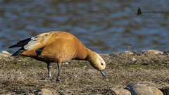 Tarro canelo (Tadorna ferruginea) (jsnchezyage) Tags: tarrocanelo tadornaferruginea ave pájaro pato duck bird birding birdwatching ornithology beak feather ruddyshelduck