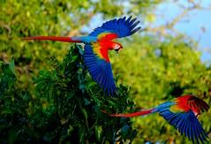 Scarlet Macaw (Ara macao) (dzittin) Tags: ara macao scarlet macaw parrot bird blue neotropical