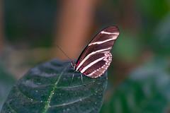 magicwings2019-52 (gtxjimmy) Tags: sonya7ii sony alpha a7ii butterflies butterfly insect bug magicwings deerfield massachusetts newengland