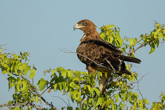 Tawny eagle (Aquila rapax) (Julian Cook Photography) Tags: africa aquilarapax bird birdofprey birds birdsofprey eagle etoshanationalpark namibia tawnyeagle