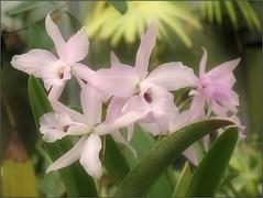 (Tölgyesi Kata) Tags: orchid orchidea withcanonpowershota620 botanikuskert botanicalgarden greenhouse üvegház füvészkert flower budapest macro blossom fleur virág winter tél