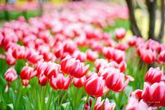 Tulips (Jennifer 真泥佛) Tags: 陽明山花卉中心 陽明山花卉試驗中心 sonya7r2 carlzeiss50mm14 陽明山花季 陽明山國家公園 仰德大道 yangmingsannationalpark taipei taiwan spring tulips 鬱金香