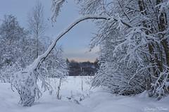 Winter evening in the snowy forest (Dmitriy'Os'Ivanov) Tags: winter pentaxk5 snow branches landscape countryside pskovoblast pentaxda55mmf14 forest snowcovered evening sunset bluesky birch field снег зима лес береза закат пейзаж псковскаяобласть landscapebeauty arc arch