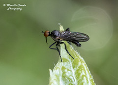 Empididae to ID (Marcello Consolo) Tags: