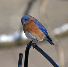 Male Eastern bluebird (carpingdiem) Tags: bluebird birds winter 2019 indianapolis feeder