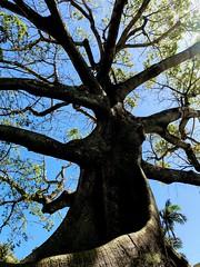 Palm Beach, Florida  A very old tree with neat roots (mcubs) Tags: sunshinestate jupiterflorida jupiter waterchannel water westpalmbeach palmbeachflorida palmbeach oldtree tree