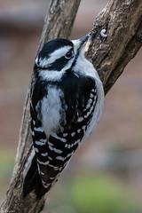 Bird blind all stars (Fred Roe) Tags: nikond7100 nikonafsnikkor200500mm156eed nature wildlife woodpecker birds birding birdwatching birdwatcher downywoodpecker dryobatespubescens peacevalleypark