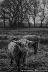 DSCF0320 (Klaas / KJGuch.com) Tags: assen drenthe drentslandschap nederland netherlands thenetherlands nature natuur landscape hiking walking outandabout xpro2 fujifilm afterworkwalk afterworkwalks eveningwalk winter cow cows herd animal animals