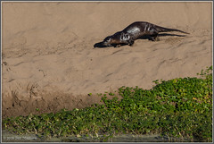 River Otter 8427 (maguire33@verizon.net) Tags: otter pointreyesnationalseashore riverotter wildlife