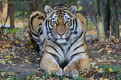 Arila (in explore 14.11.2018) (Noodles Photo) Tags: arila makar dasha elroi amurtiger ussuritiger siberiantiger sibirischertiger feloidea katzenartige felidae katze cat pantherinae groskatze panthera pantheratigris tiger pantheratigrisaltaica zooduisburg zoo duisburg nordrheinwestfalen germany northrhinewestphalia nrw deutschland tamronsp150600mmf563divcusdg2 canoneos7dmarkii