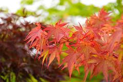 Acer (Japanese Maple) (Seventh Heaven Photography **) Tags: acer japanese maple 131st shrewsbury flower show shropshire nikon d3200 orange tree leaves