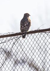 wmhawk_01 (AgeOwns.com) Tags: hawk birdofprey raptor red shouldered gaithersbird gaithersburg maryland moco montgomery county