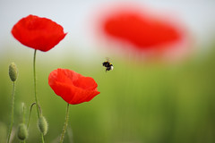 Living in another world (chtimageur) Tags: flowerfield insects summer macro poppies green red bee canon 6d mark ii 135 20