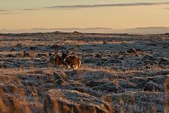 24-november-kotlugengi-rockville_053 (Stefán H. Kristinsson) Tags: venus kötlugengið nikond800 nikon70200f4 reykjanes winter november 2018 iceland vetur sunset red dog dogs hundur hundar