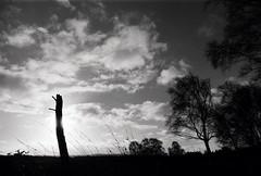 Stoborough Heath, Dorset (a.pierre4840) Tags: olympus om2n zuiko 24mm f28 35mmfilm ilford ilfordfp4 fp4 silhouette trees sky clouds bw blackandwhite monochrome noiretblanc landscape dorset england