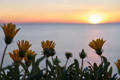 Tramonto con i fiori (rafpas82) Tags: fiori mare tramonto colori sunset puestadelsol giallo sea mediterraneo ischia italia santangelodischia santangelo isola acqua riflessi estela fuji fujinon 35mm fujinon35mmf2 xt20 fujifilmxt20 mediterraneansea