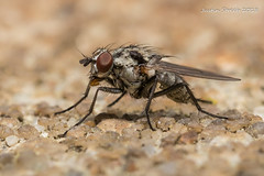 Tiny Fly (strjustin) Tags: fly insect bug macro