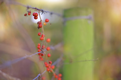 A Fence Full of Berries... (KissThePixel) Tags: autumn berry berries nikon nikond750 50mm 14 f14 fence fencefriday friday happyfencefriday bokeh macro dof depthoffield light metalfence november bokehlicious pov redberries garden stilllife