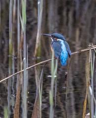 Kingfisher (Female) (50) (Mal.Durbin Photography) Tags: wildlifephotography maldurbin naturephotography wildbirds forestfarm nature naturereserve
