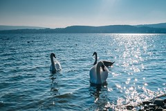 blau (ce_eff) Tags: radolfzell see bodensee gnadensee schwäne lakeconstance lake sky swan blue fujifilm fuji xe1 xf27 pancakelens glitzerlicht sunnyday