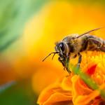 Macro shot of a honey bee on a flower thumbnail