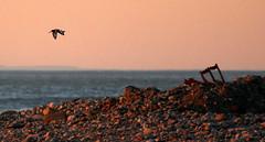 Sunset flypast (Sue Wolfe) Tags: wales cymru meirionnydd ceredigion westwales nature autumn welshwildlifebreaks welshcoast coast birds birdwatching sea seashore sunset abertrinant tywyn wildlife