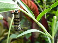 I made Tommy eat a bug (sallyNZ) Tags: scavenger2 caterpillar monarch bug